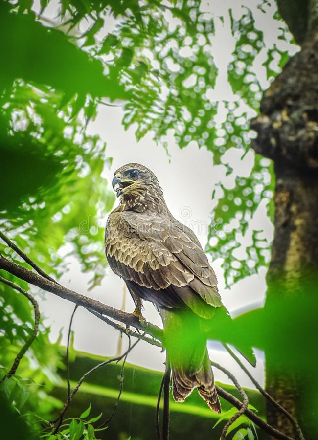 Indian Eagle,the Kite sitting on the tree branch in the defth of field picture. India. 2019, activity, animal, wing, aves, beak, bird, body, brown, claw, color royalty free stock photo