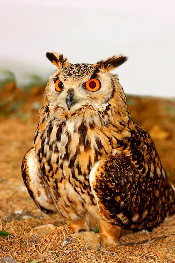 Download Indian Eagle-Owl (Bubo Bengalensis) Stock Photo - Image: 25701060