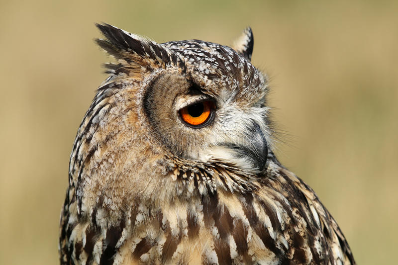 Indian eagle-owl. Portrait with a blurry background royalty free stock photos