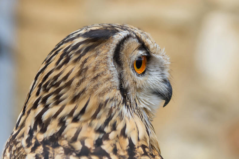 Indian Eagle Owl Profile. Indian Eagle Owl Owl profile and the horned downloaded royalty free stock photo