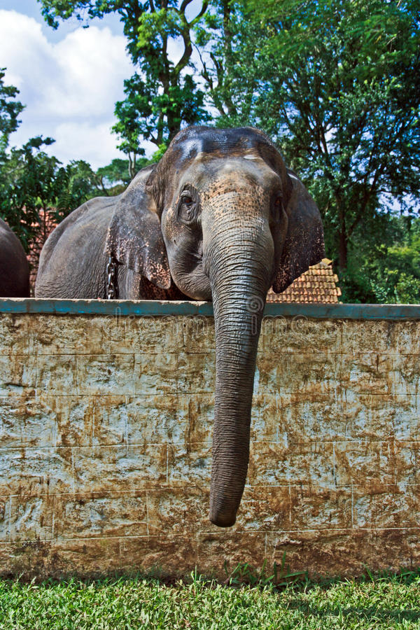 Indian elefant in the camp. Big indian elefant in the camp royalty free stock images