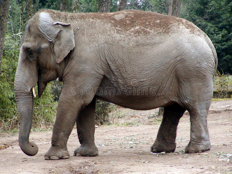 Download Indian Elephant stock photo. Image of trunk, indicus, african - 203044