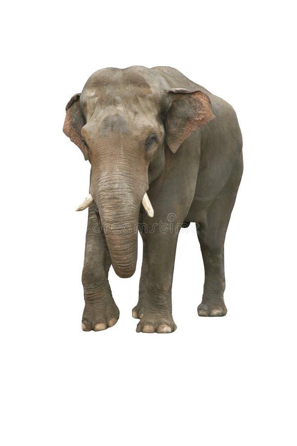 Free Indian Elephant Royalty Free Stock Image - 2839926