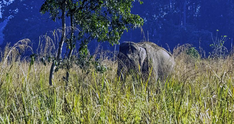 Indian elephant is one of three recognized subspecies of the Asian elephant and native to mainland Asia - Jim Corbett National Par stock image