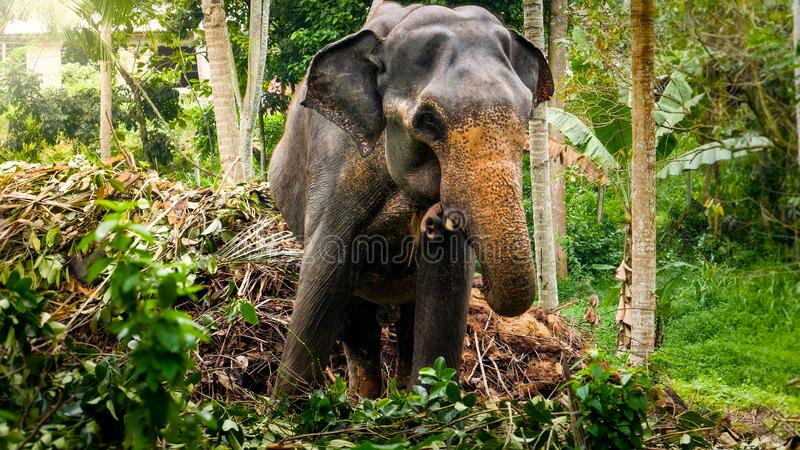 Adult indian elephant grabing leaves from tree branches with long trunk in tropical jungle forest royalty free stock image
