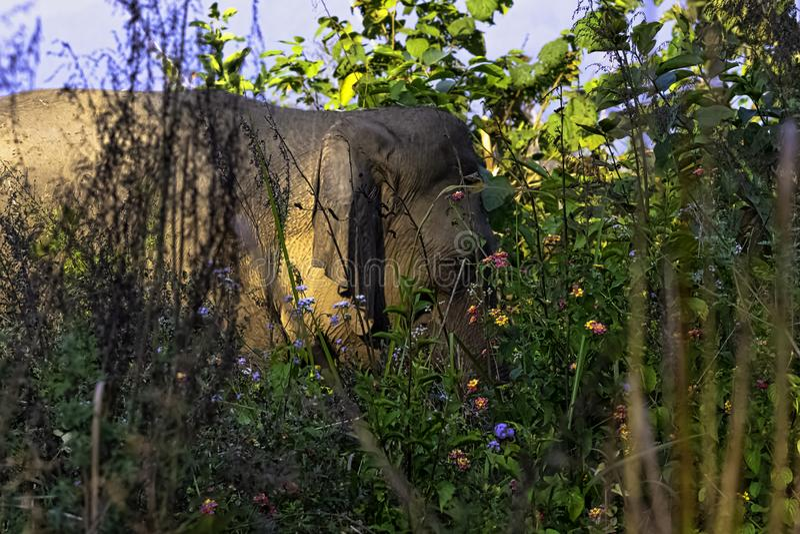 Indian elephant hidden in the bush - Jim Corbett National Park, India stock photography