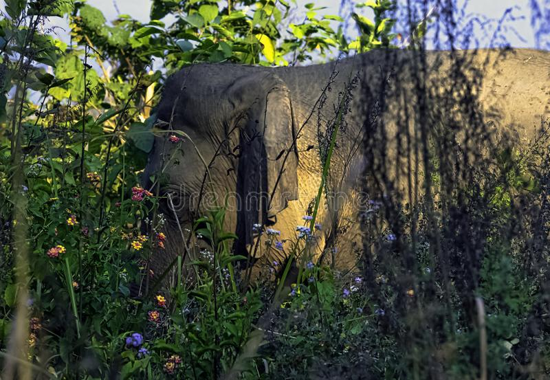 Indian elephant hidden in the bush - Jim Corbett National Park, India royalty free stock photo