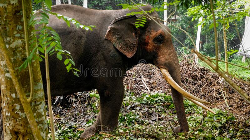 Indian elephant with long tusks standing in wild tropical jungle forest on Sri Lanka stock photo