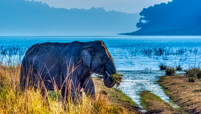 Indian elephant with Ramganga Reservoir in background - Jim Corbett National Park, India royalty free stock image