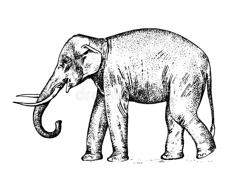 Indian elephant. wild animal in warm country. engraved hand drawn realistic in old sketch, vintage style. stock illustration