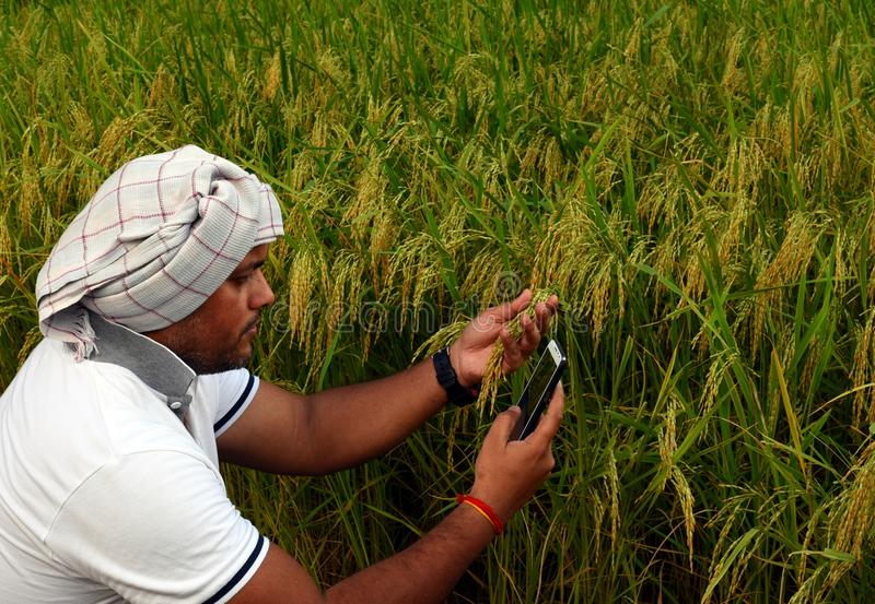 Indian Farmer checking growth of rice paddy farm and making call with smart phone stock photos