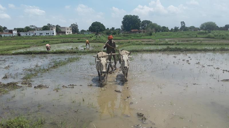Indian farmer ploughing paddy field stock photo