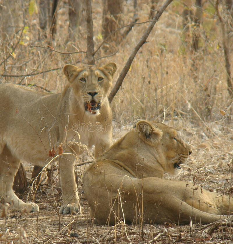 Indian female lions royalty free stock images