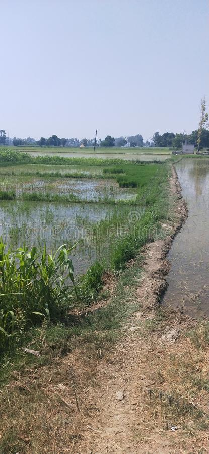 Indian fields with a narrow way in between the field is looking sooo beautiful. Indian fields is filled with water & a narrow way in between the fields ooking royalty free stock photo