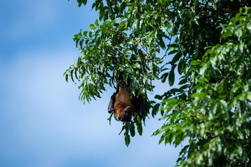 Indian flying fox or greater indian fruit bat close up image hanging from tree with eyes open at ranthambore national park stock photography