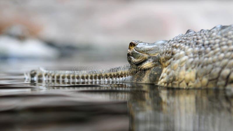 Download Indian gavial stock image. Image of fierce, eyes, prag - 14759653