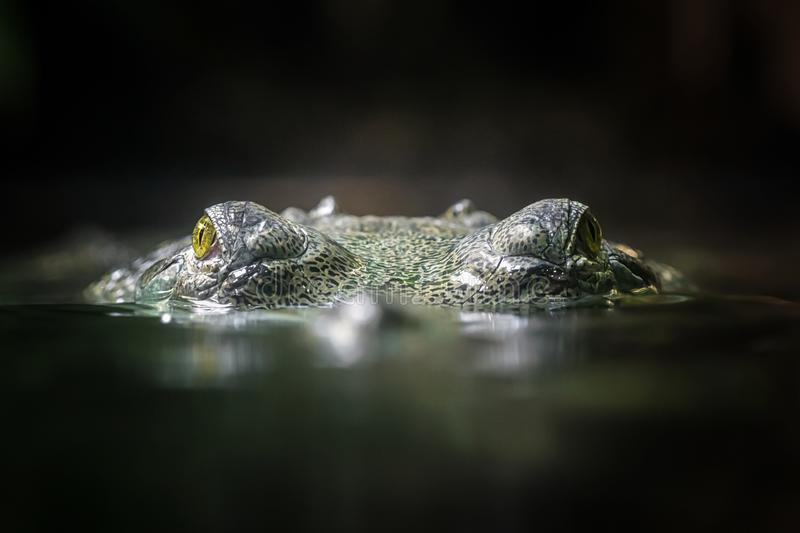 Indian gavial. The crocodile Gavial indian looking above water stock images