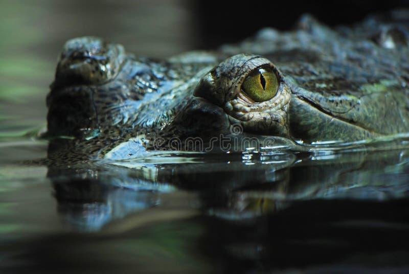 Indian gavial (Gavialis gangeticus) stock image