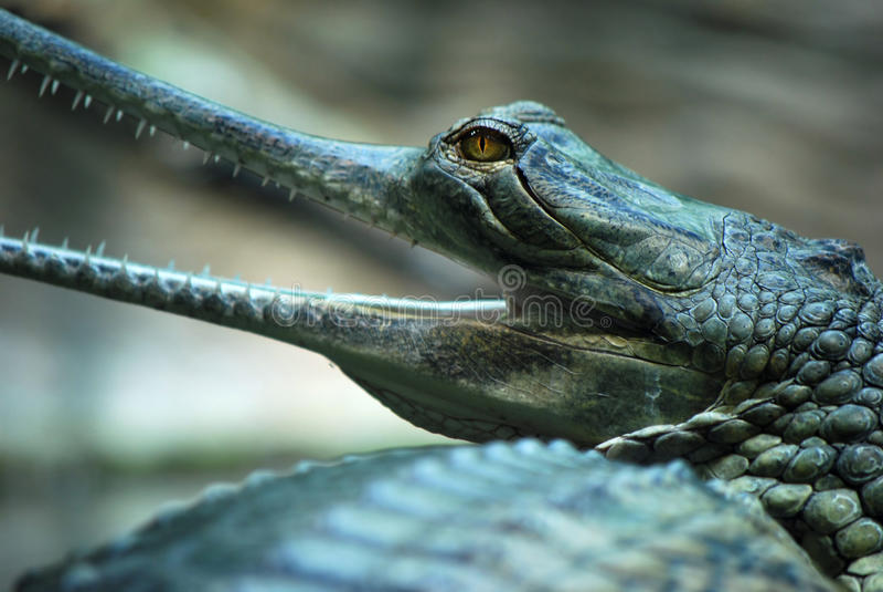 Indian gavial (Gavialis gangeticus) stock images