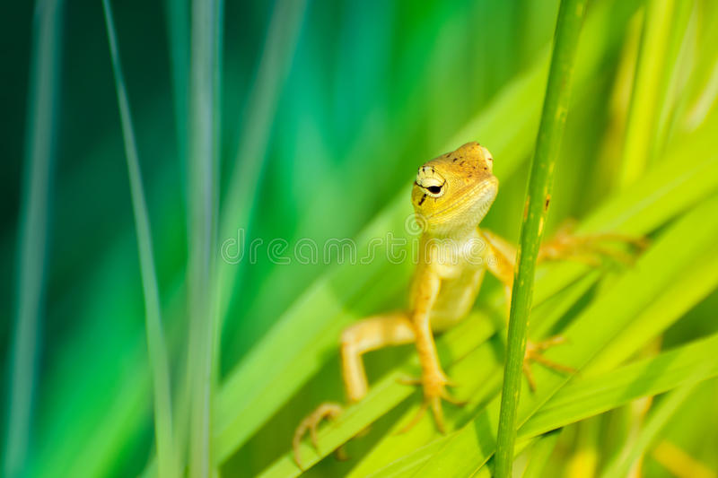 Download Indian Gecko Inside A Bush Looking Out Stock Image - Image of morning, body: 83703501