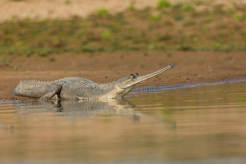 An Indian Gharial sun basking royalty free stock photography
