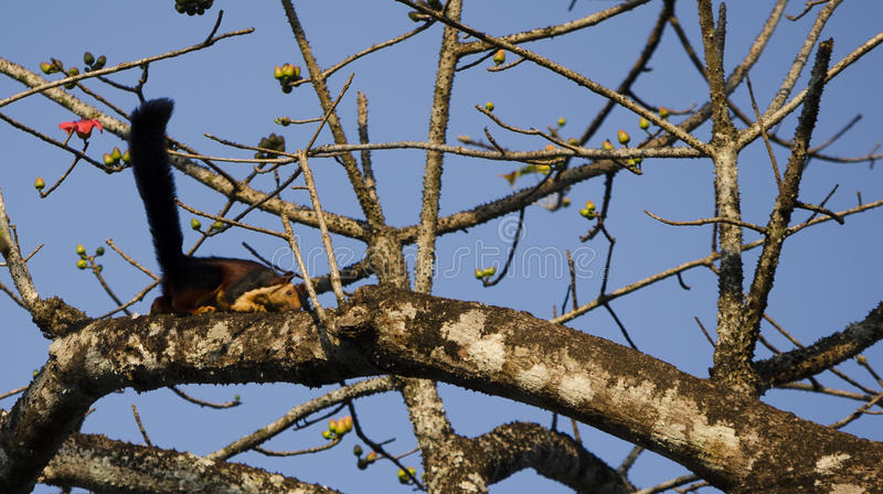 An Indian giant squirrel / Malabar giant squirrel. Foraging for food on a tree.Image taken at a forest in Vazhachal in Kerala,South India. Scientific Name stock image