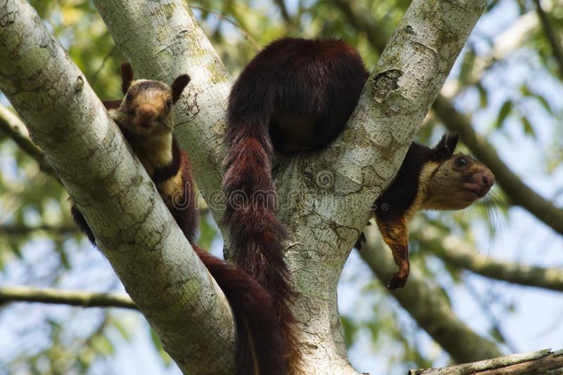 Indian giant squirrel or Malabar giant squirrel, Ratufa indica, Dandeli National Park, Karnataka, Dandeli.  royalty free stock photos