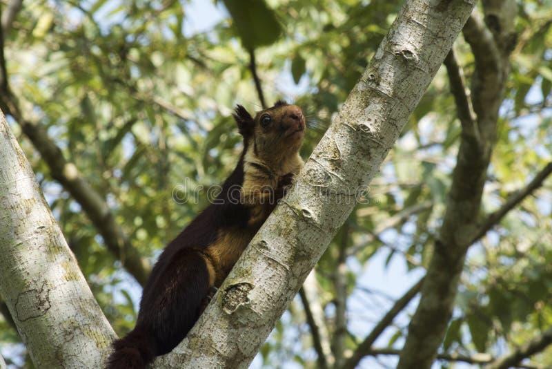 Indian giant squirrel or Malabar giant squirrel, Ratufa indica, Dandeli National Park, Karnataka, Dandeli.  stock photos