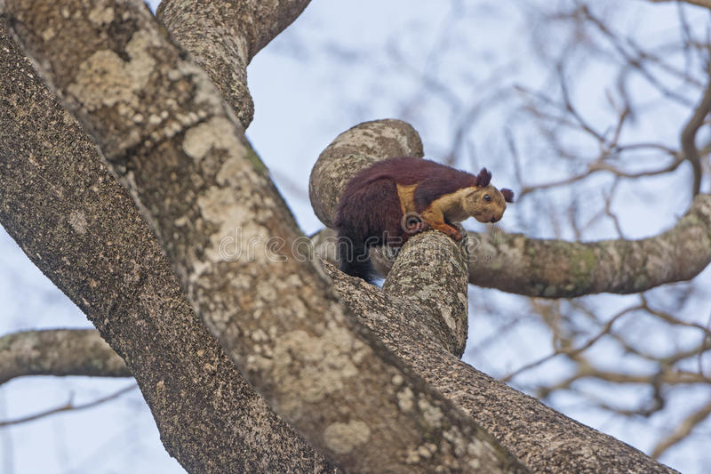Indian Giant Squirrel in a tree. In Nagarhole National Park in India stock photography