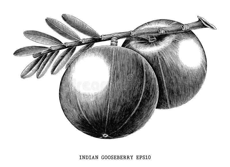 Indian gooseberry fruit vintage engraving illustration isolated. On white background vector illustration