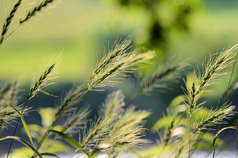 Indian Grass. Close up of indiangrass growing wild along the banks of the Shenandoah River in Northern Virginia Front Royal VA royalty free stock images