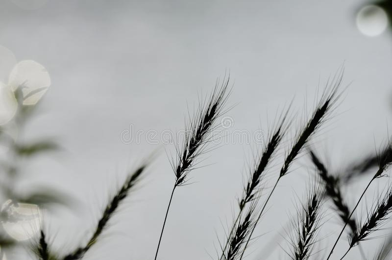Indian grass silhouette. Close up of indiangrass growing wild along the banks of the Shenandoah River in Northern Virginia Front Royal VA royalty free stock images