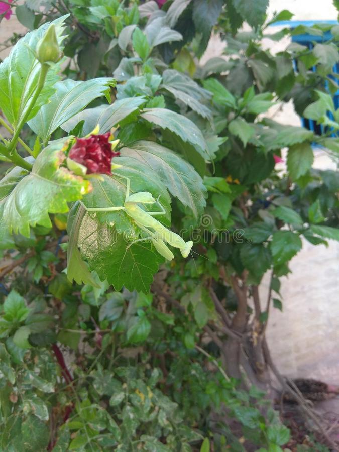 The Indian Grasshopper on plant stock photos