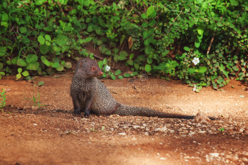 Indian Gray Mongoose, Sri Lanka royalty free stock photos