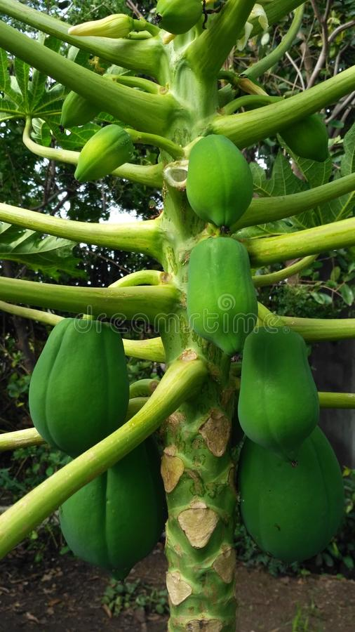Indian Green Papaya royalty free stock photo