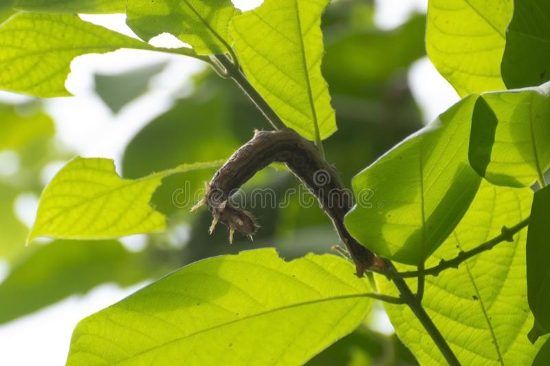 Indian Hawk Moth Caterpillar or Larva Hanging. On the Rangoon Creeper Branch before going into Pupa stage stock images