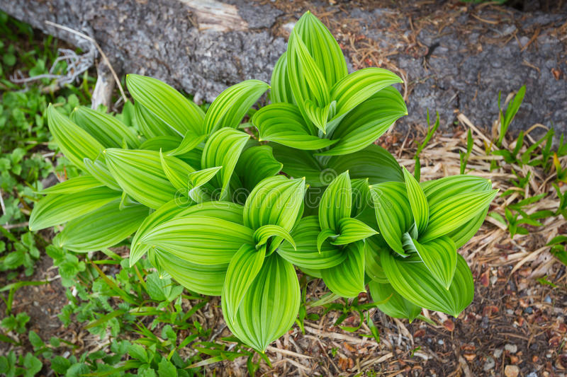 Indian Hellebore on Mt. Rainier royalty free stock images