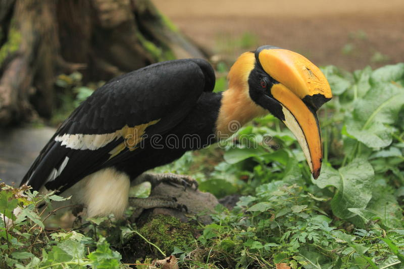 Download Indian hornbill stock image. Image of bill, pied, strolling - 27167851