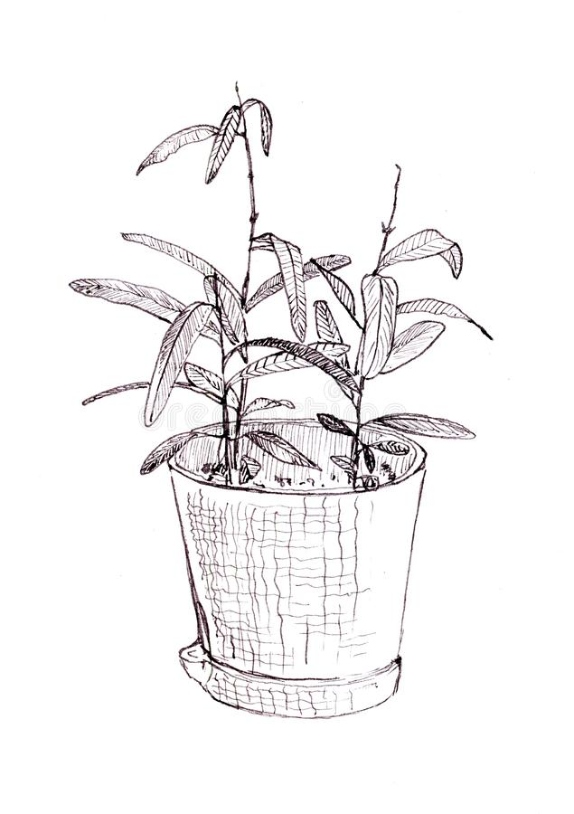 Indian ink sketch of a home plant in a pot little pomegranate. royalty free illustration