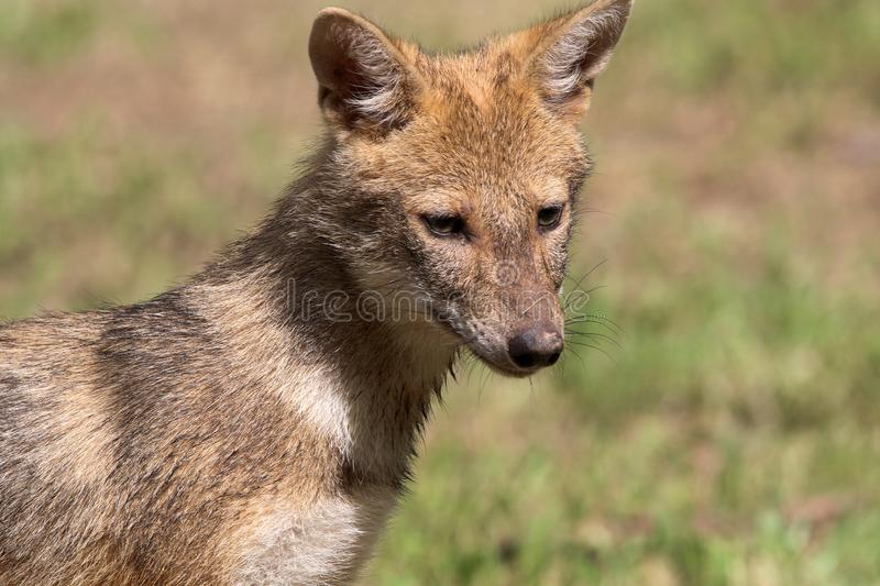 Indian jackal. Beautiful shot of indian jackal in sunny day stock photography
