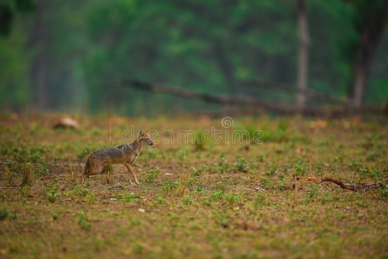 Indian Jackal, Canis aureus indicus closeup in a green background with blue hue. At kanha tiger reserve, india royalty free stock image
