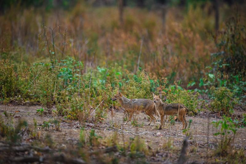 Indian Jackal, Canis aureus mating pair. In a scenic location with a green background and small trees at kanha national park royalty free stock photography