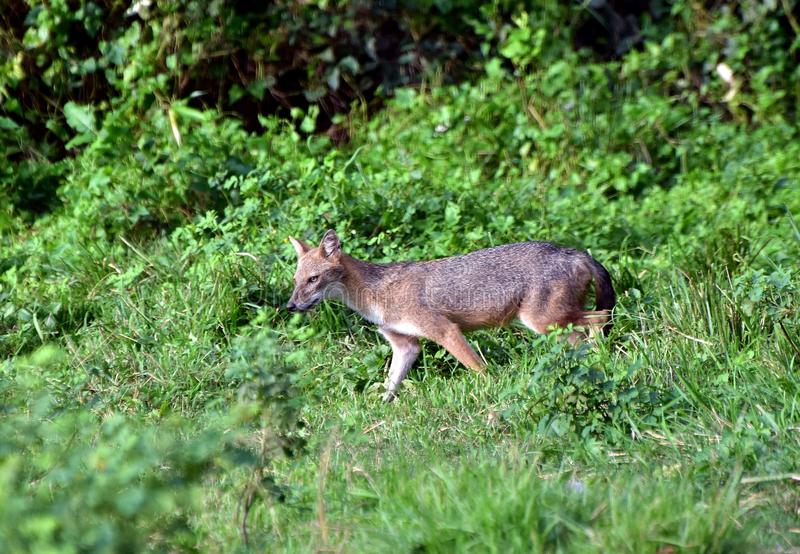 Indian jackal. An Indian jackal is coming out of a bush and searching for prey in rural West Bengal, India royalty free stock photography