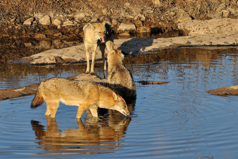 Indian jackals royalty free stock images