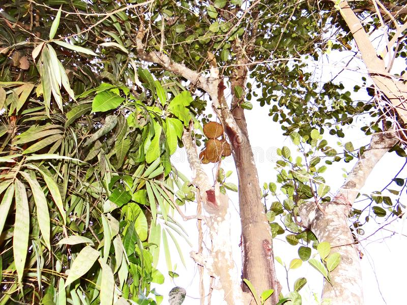 Jackfruit tree. Indian jackfruit tree/jackfruit on a tree royalty free stock images