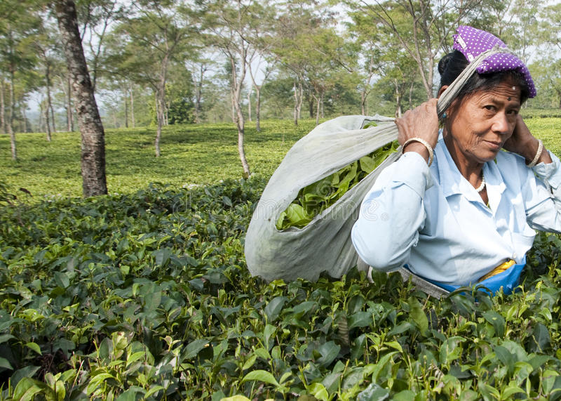 Indian lady picking tea leaves. Indian lady plucking tea leaves in the tea garden royalty free stock images