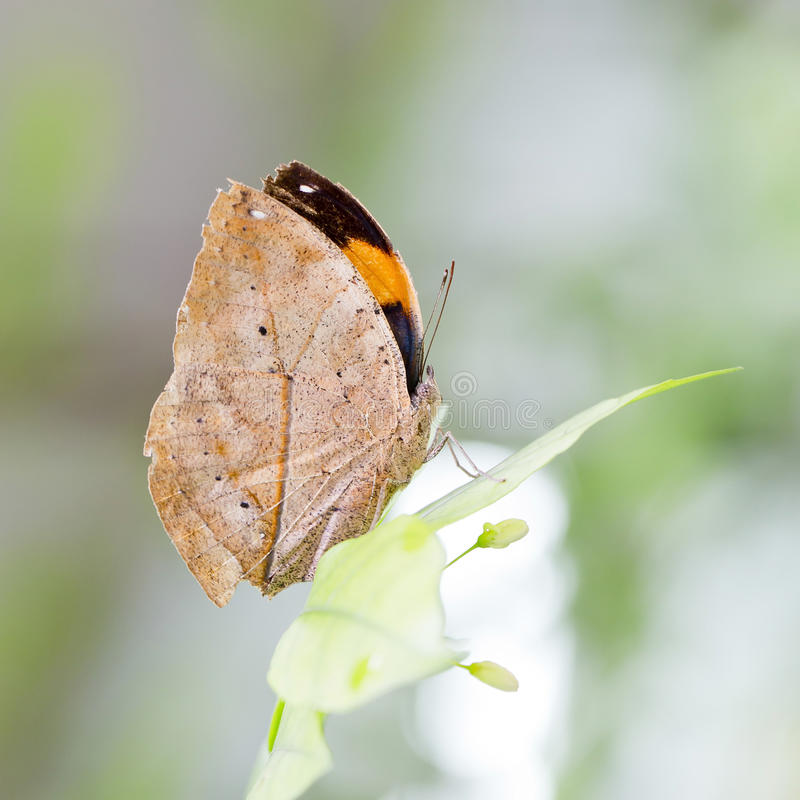 Indian Leaf Butterfly exactly same like a dried leaf. Closeup Indian Leaf Butterfly exactly same like a dried leaf stock photography
