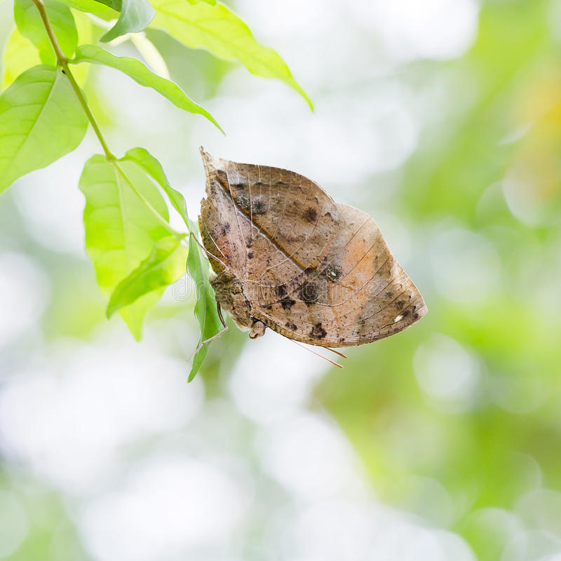 Indian Leaf Butterfly exactly same like a dried leaf. Closeup Indian Leaf Butterfly exactly same like a dried leaf nature background royalty free stock photo