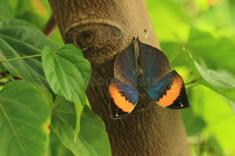 Indian leafwing royalty free stock photography
