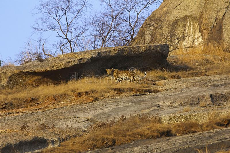 Indian Leopard at Bera of Rajasthan, India stock photo